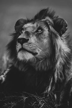Photo lion Masaï Mara