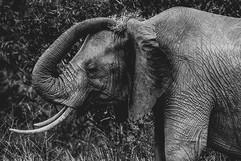 Photo éléphant Tsavo