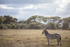 Photo zèbre Amboseli