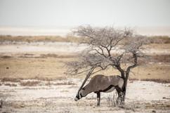 Photo Oryx Etosha