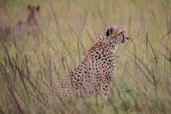 Photo guépard Masaï Mara