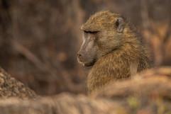 Photo babouin Chobe