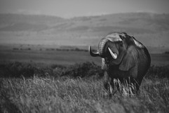 Photo éléphant Masaï Mara