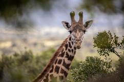Photo girafe Masaï Mara