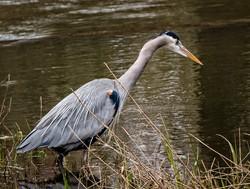 Finley Blue Heron 3