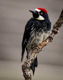 Finley Woodpecker profile