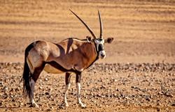 Namibia Oryx at Le Mirage