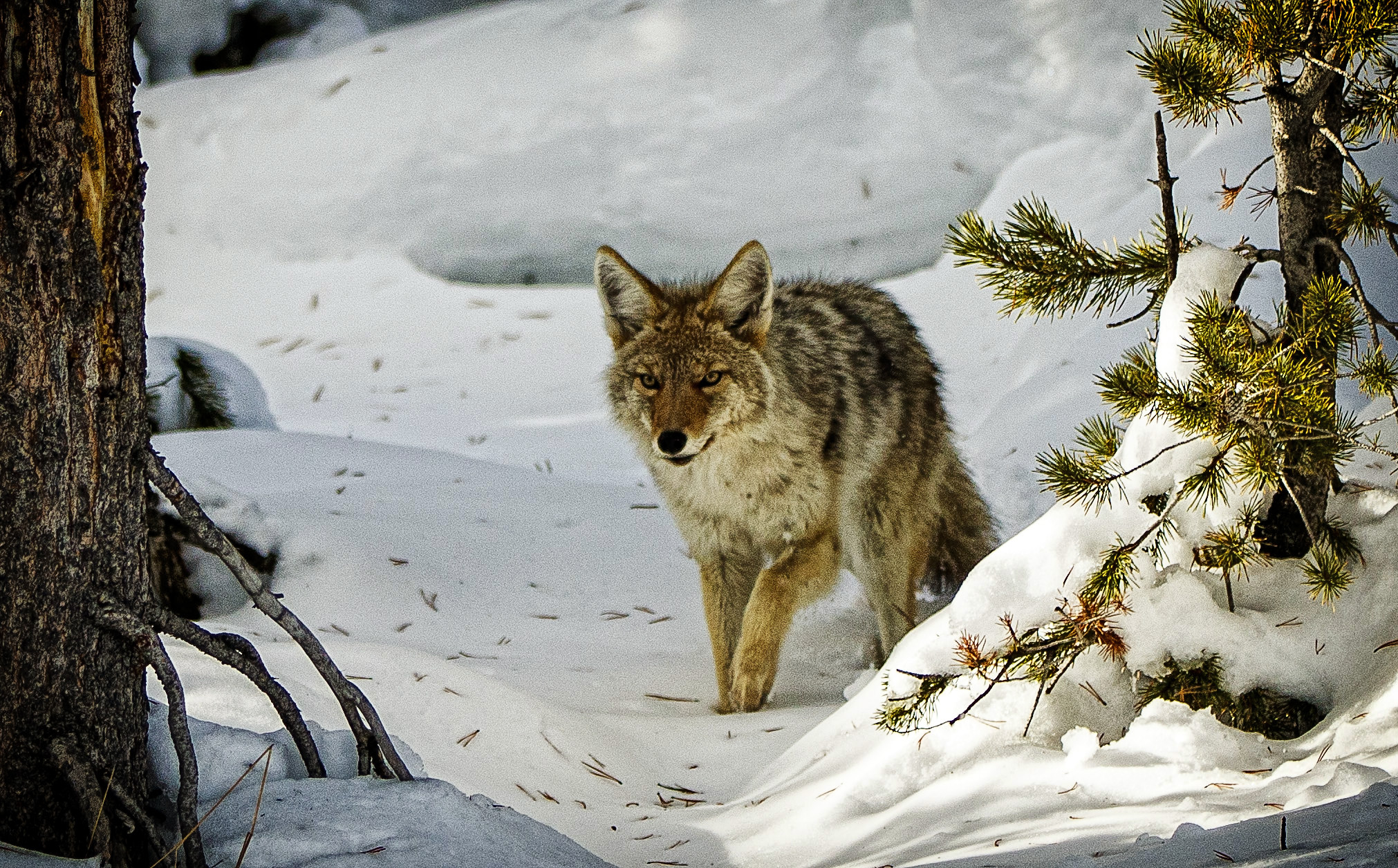 Coyote on the Trail