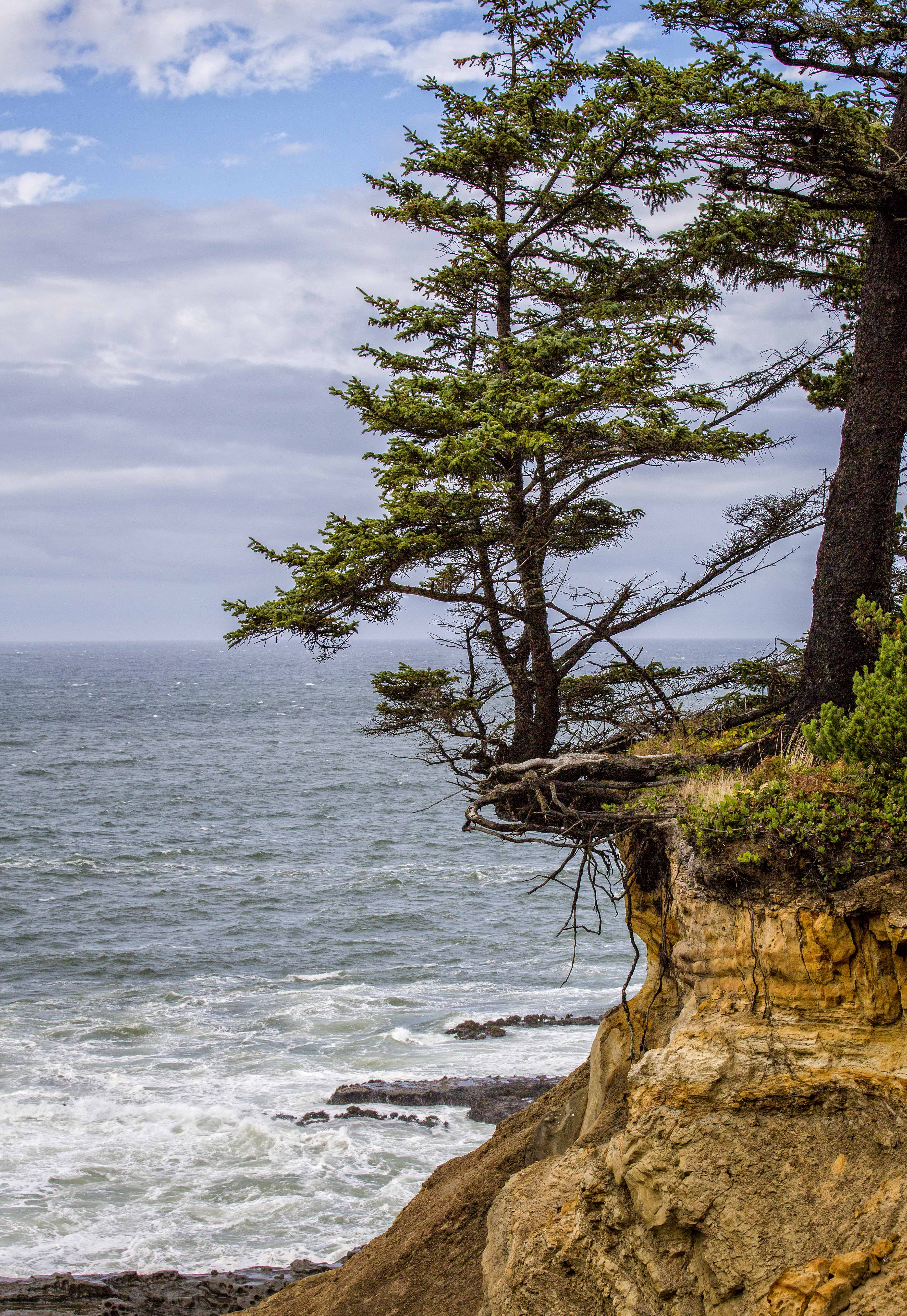 Cape Arago tree hanging on