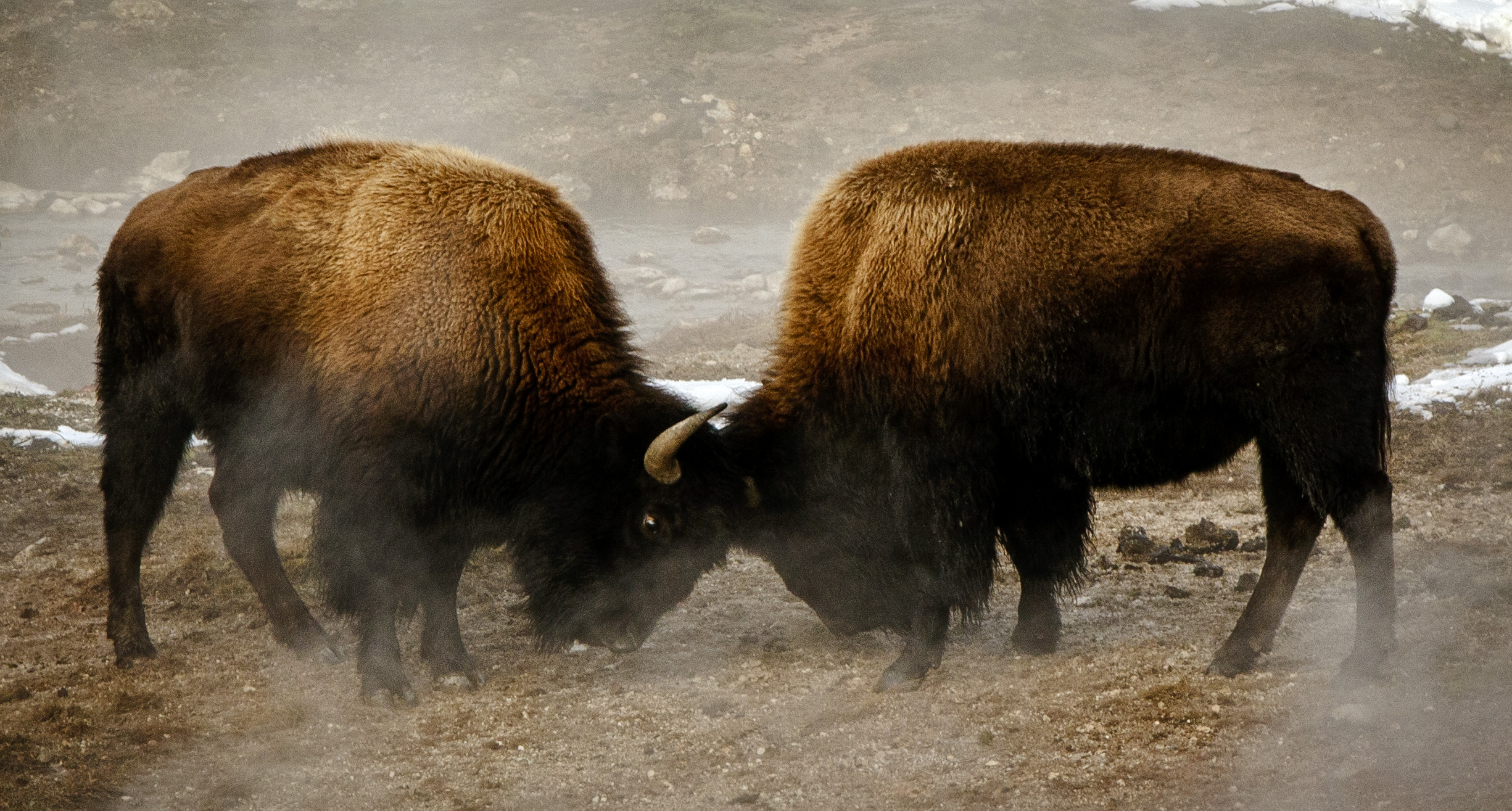 Young bull bison sparring
