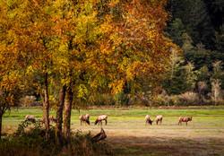 Dean Creek elk with tree