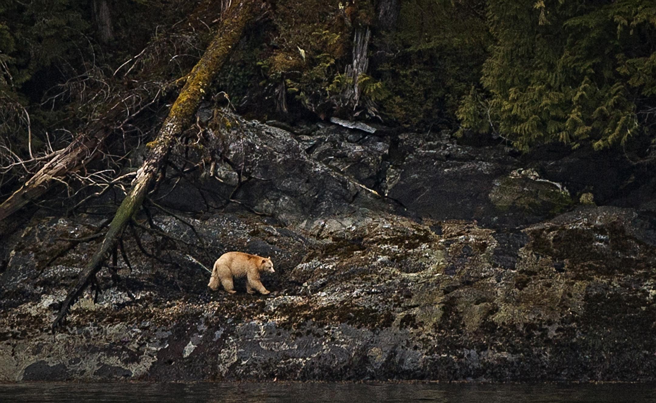 Spirit Bear Walking export
