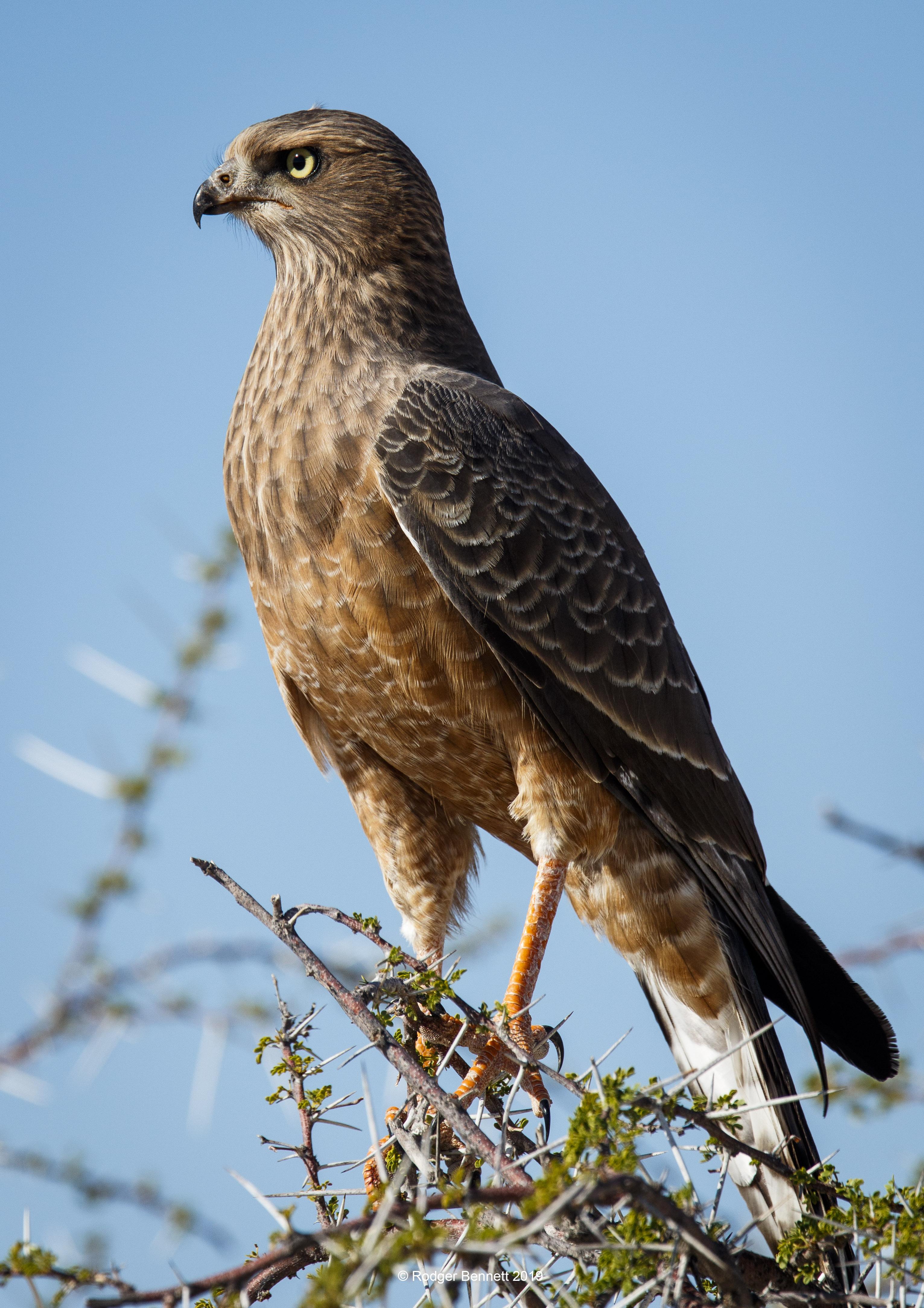 Namibia hawk looking tall