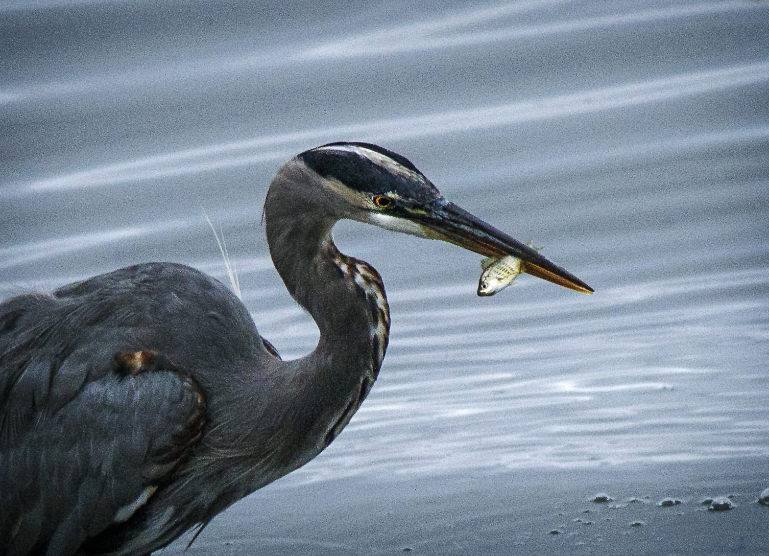 Blue Heron showing off