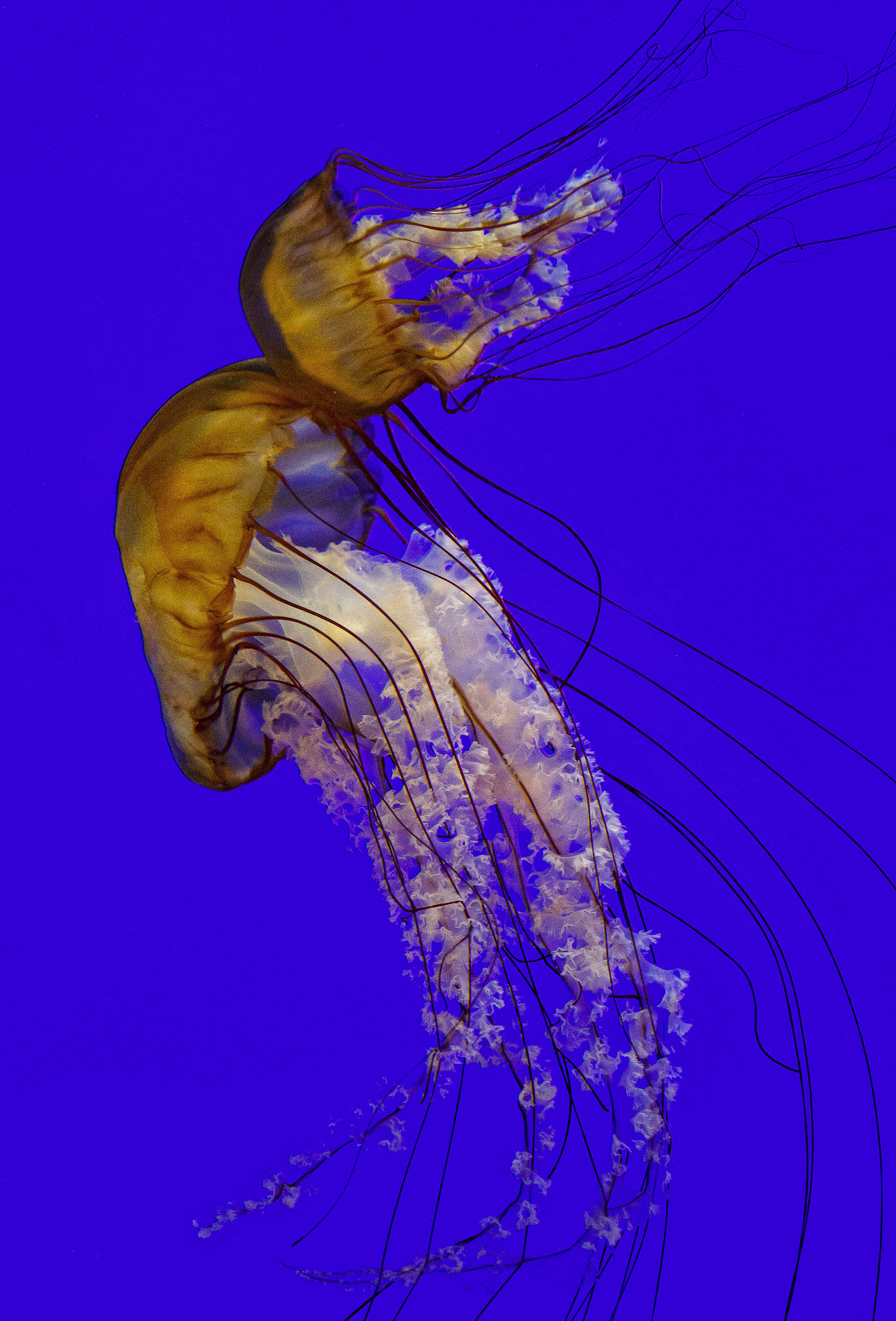 Sea Nettles couple