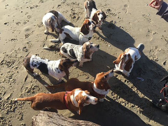 Rescued American Bassets