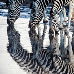 Namibia Zebra trio at the waterhole