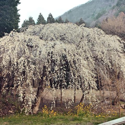 阿東徳佐の枝垂桜