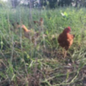 chickensbrf.jpg