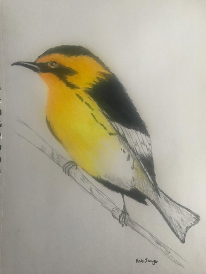 Gold Finch Bird Colored Pencil