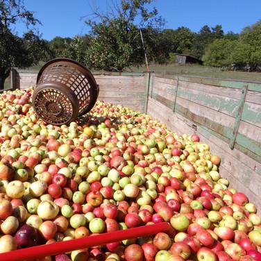 Äpfelernte