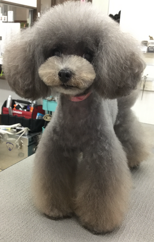 Toy Poodle teddy&Flare Leg Style