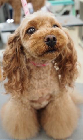 Toy Poodle teddy&Flare Leg Girlish Style