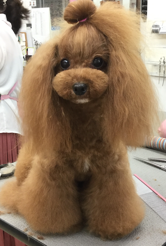 Toy Poodle Topknot & Flare Leg Style