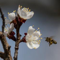 Biene-Marillenblüte