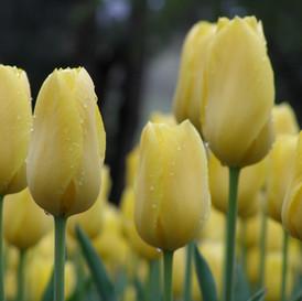 close-up-yellow-tulip1.jpg