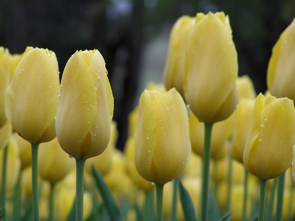 close-up-yellow-tulip1.jpg
