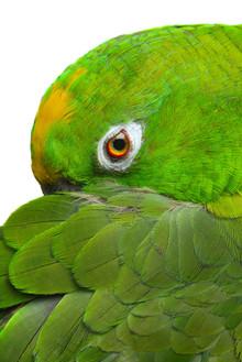 7042663-amazon-parrot.jpg