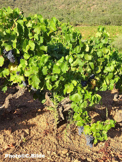 Vignoble raisin