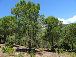 Les boucaniers pins