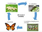 Screen Shot Butterfly Life Cycle.png