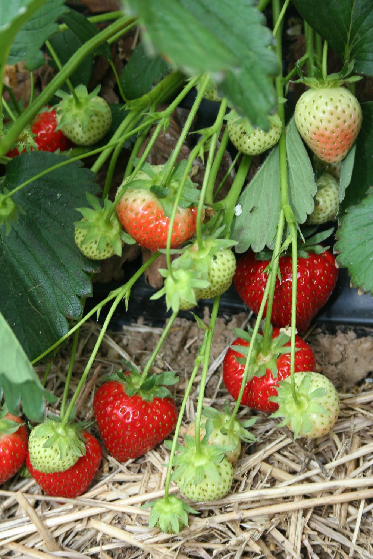 Erdbeerscholle junge Erdbeeren.JPG