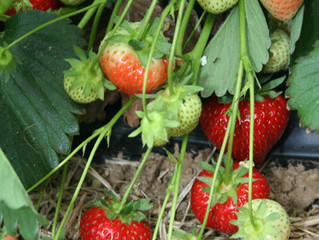Erdbeerfelder 2015 öffnen