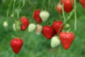 Erdbeeren5.jpg