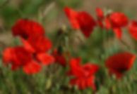 poppies-1368797-1919x1321.jpg