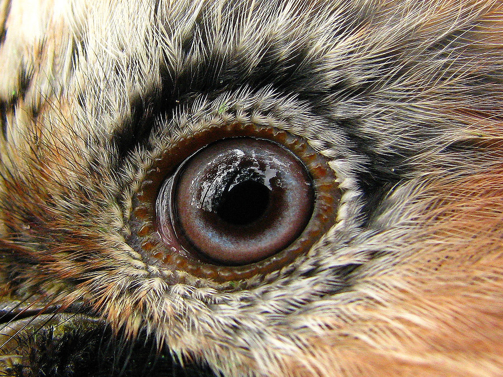 Jay eye close up