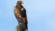 Seven endangered raptor nests found!