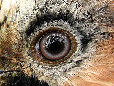 sojka oko.jpg