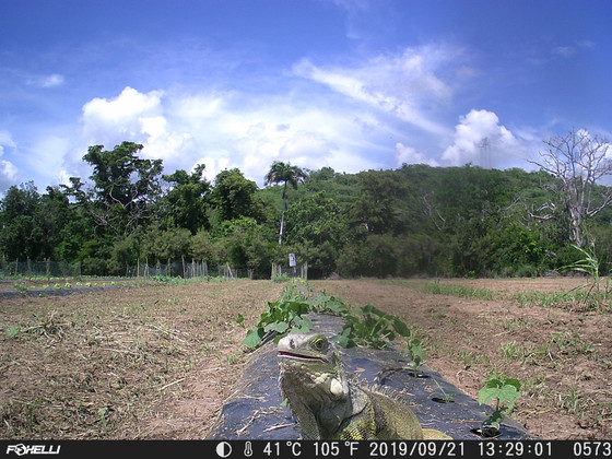 Our camera traps reveal what iguanas and cats are up to