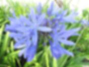 Agapanthus caulescens.JPG