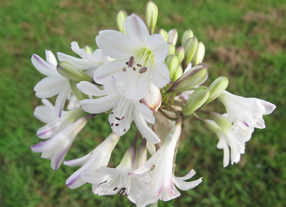 Agapanthus campanulatus 'Albiflorus'