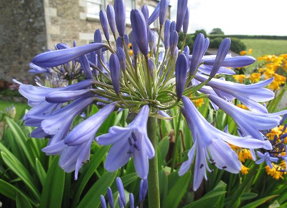Agapanthus 'Cool Blue'