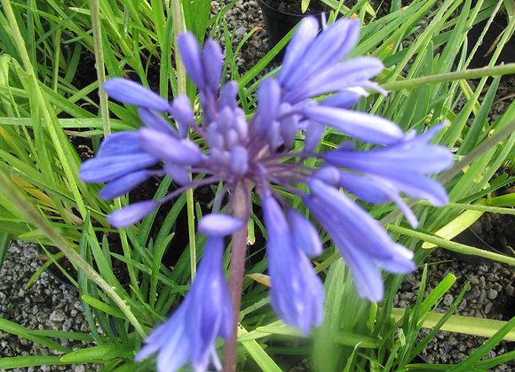 Agapanthus 'Super Star'