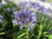 Agapanthus caulescens nursery.JPG