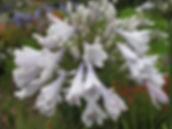 Agapanthus Windsor Grey 1.JPG
