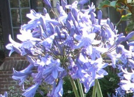 Agapanthus 'Castle of Mey'